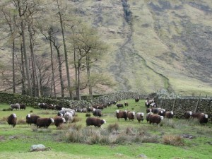 Herdwick_Sheep_-_geograph_org_uk_-_770498