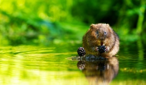 A little wild water vole eating some juicy blackberries looking at the camera