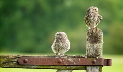 which way now? Two little owls on an old farm gate