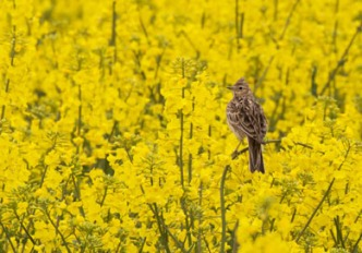 Eurasian skylark. Skylark seated in a rape field.