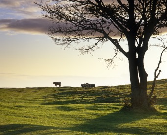 English Longhorn cattle on Cissbury Ring, West Sussex, in winter