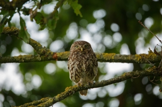Little owl_James West via Flickr Creative Commons_sml