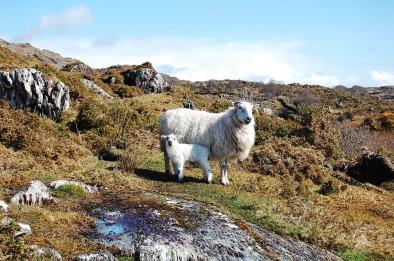 upland farming sheep.jpg