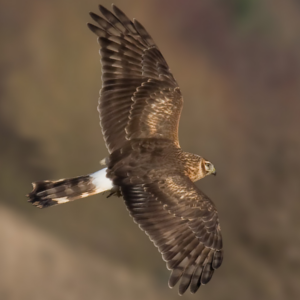 hen harrier 1