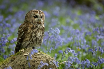 Tawny Owl perched on branch in bluebell wood.
