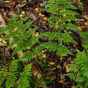 fern small