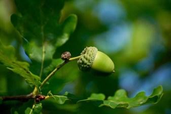 acorn-Suzanne Jutzeler via Pixabay880