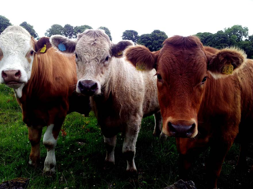 beef-beefsteak-bull- by JOHNY REBEL from Pexels_sml