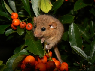 Dormouse wikimedia commons_Danielle Shwarz