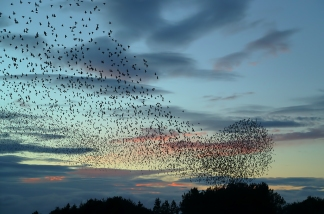 starlings via geograph-5991171-by-Walter-Baxter