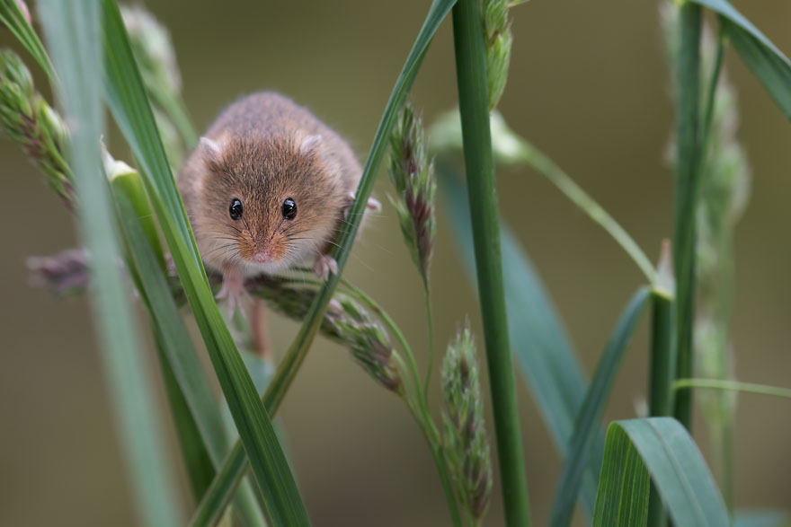 A small harvest mouse climbing up shoots of grass looking forwar