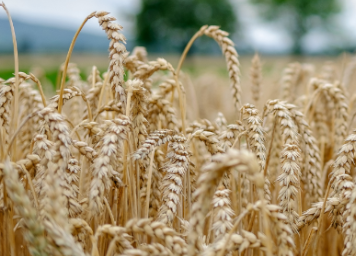 intext-wheat-blog