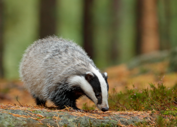 intext-badger