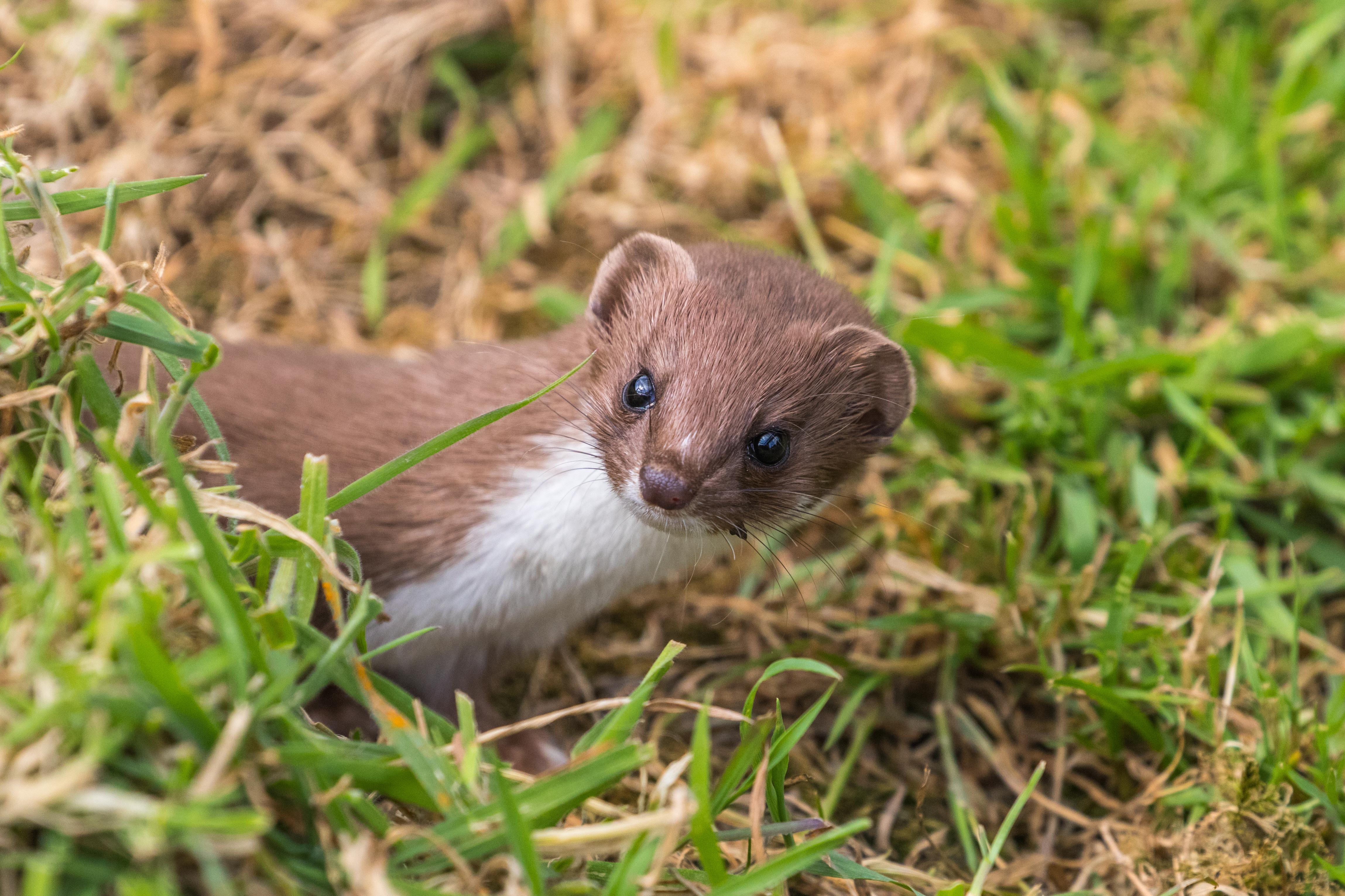 Weasel or Least weasel (mustela nivalis) on a grass bank